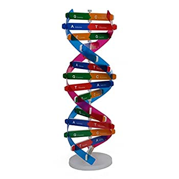 MingCheng DNA Models Double Helix Science Popularization Teaching Aids (13-inches Height)