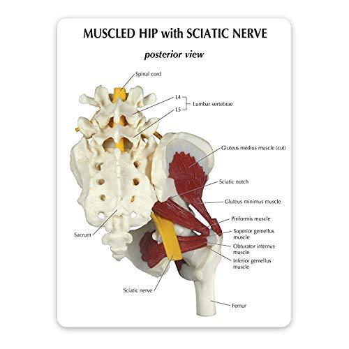 AIOXY 2020 - Articulación de cadera con modelo de nervio ciático, réplica de anatomía corporal corporal normal de la articulación de la cadera con nervio ciático médicos oficina para herramientas educ