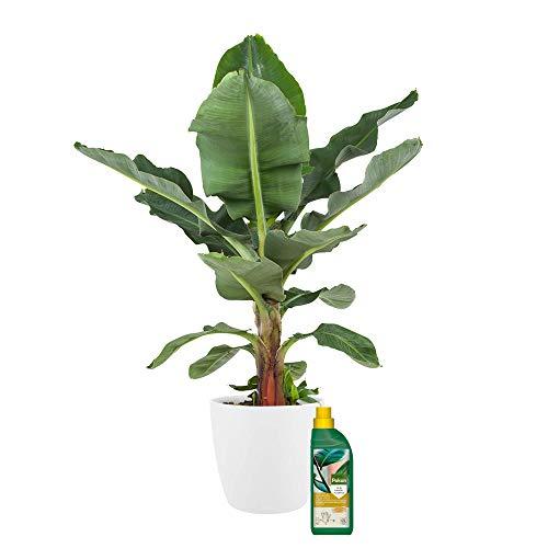 Zimmerpflanze von Botanicly – Bananenpflanze in weißem Übertopf + 500 ml Dünger als Set – Höhe: 70 cm – Musa