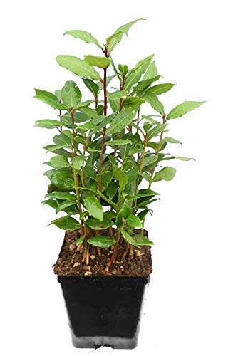 Echter Lorbeerbaum - Laurus nobilis - verschiedene Größen (30-40cm - Topf 9x9 cm)