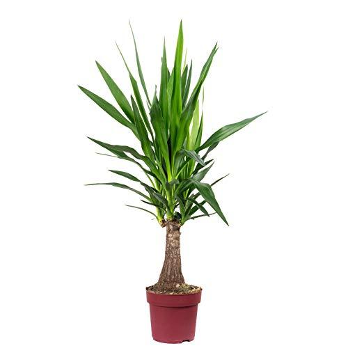 Palmlilie 'Maya Tree' - Yucca guatemalensis - Höhe ca. 60 cm, Topf-Ø 19 cm
