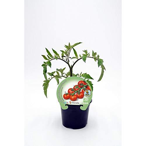 Plantón ecológico de Tomate Cherry Redondo maceta 10,5 cm