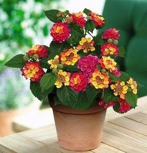 BloomGreen Co. Hochzeit Blumensamen Lantana moritziana Für Töpfe Erbstück Blumensamen Samen Küche Garten Samen Packung