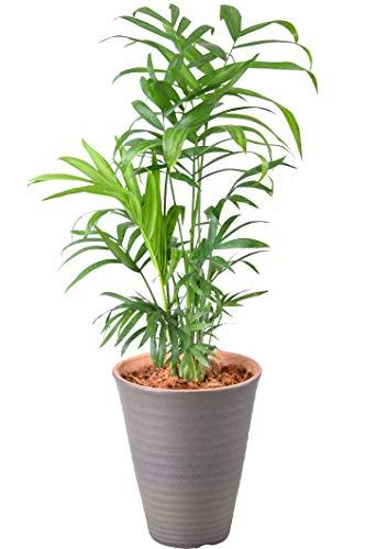 花のギフト社 テーブルヤシ 4号 陶器 鉢植え 観葉植物 インテリア グリーン