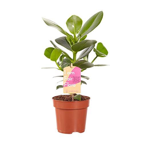 Nachhaltig produzierte Zimmerpflanze von FAIR FLORA® – 1 x Bambusfarn – Höhe: ca. 35 cm – Lateinischer Name: Coniogramme Intenz
