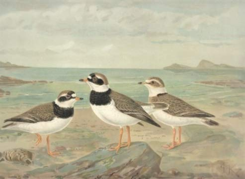 Sand-Regenpfeifer. Charadrius hiaticula L., Männchen im Sommerkleide. Weibchen im Sommerkleide. Jugendkleid. Chromolithographie.