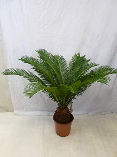 [Palmenlager] - Cycas revoluta 100 cm - Stamm 20 cm - Sagopalme - Palmfarn