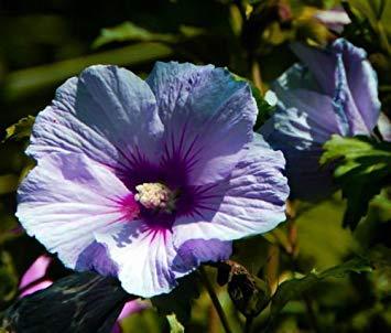 VISTARIC 100 semillas/paquete púrpura gigante Allium giganteum Semillas hermosa flor de jardín de vegetales en ciernes la tasa de 95% rara flor para el cabrito