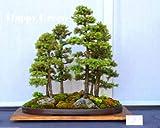 Picea Glauca - 100 semillas de bonsái - Picea Glauca - Semillas de bonsái para interiores y exteriores