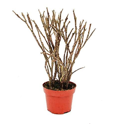 Euphorbia platyclada 12cm pot, hauteur env. 25cm, rare euphorbe avec pousses tachetées