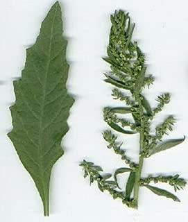 EPAZOTE Chenopodium Ambrosoides Herb Flower Seeds