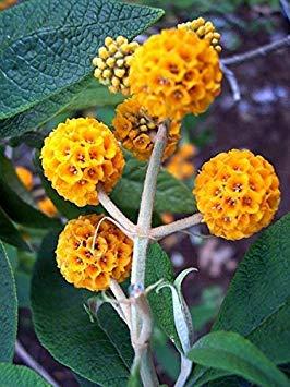 Potseed 10 orange Kugel-Baum/Golden Butterfly Bush Buddleja Globosa Strauchblumensamen