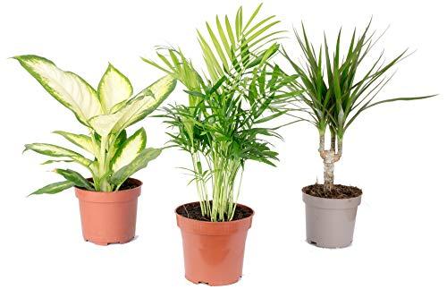 3er-Set Zimmerpflanzen Chamaedorea, Dieffenbachie, Dracaena - Topf-Ø 10-12 cm