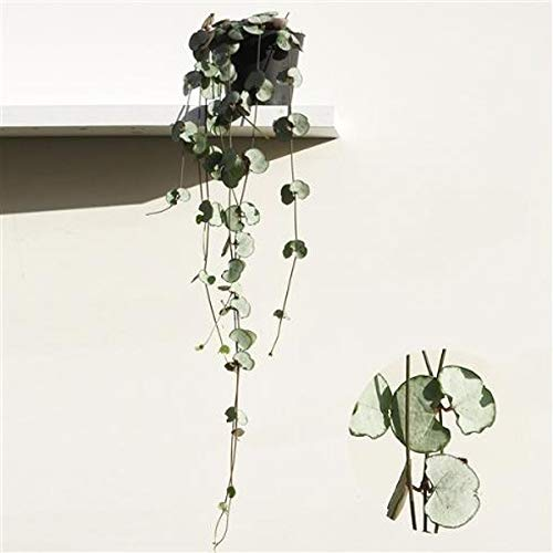 Ceropegia woodii Silver Glory 20-24 cm -...