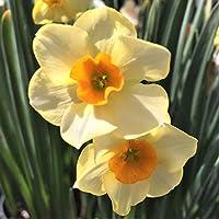 すいせん球根 - 特に、現在販売中、美しい色、庭の装飾植物,香り、速く成長する,春の園芸植物、-4 球根