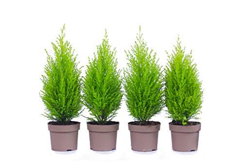 Zypressen 4 Stück in 40cm A1 Qualität MPS kontrolliert Unsere Pflanzen sind bereits für Sie vorgedüngt