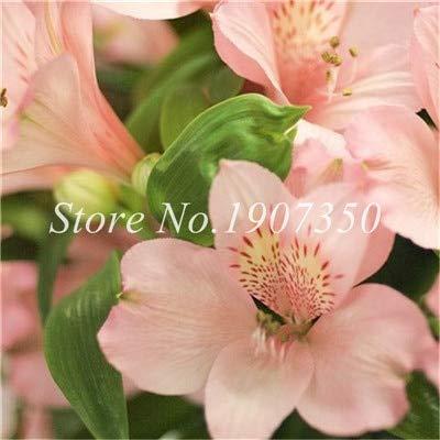 Shopmeeko Graines: Bonsai 100 Pcs Rare Bonsai Alstroemeria Beauté fleurs en pot Balcon Plantation Saisons Bonsai Color Mixed bonsaïs d'intérieur: 15