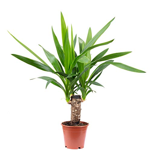 Palmlilie 1-stämmig - Yucca Elephantipes Palme 20 - Höhe ca. 45 cm, Topf-Ø 12 cm