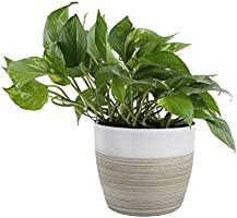 Costa Farms Devil's Ivy Golden Pothos White-Natural Decor Planter Live Indoor Plant, 10-Inches Tall, Fresh from Our Farm