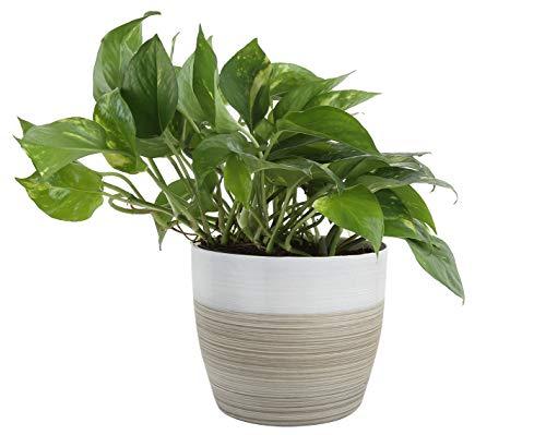 Costa Farms 魔鬼的常春藤金色坑洼白色天然装饰花盆,室内植物,10 英寸(约 25.4 厘米)高,来自我们的农场新鲜