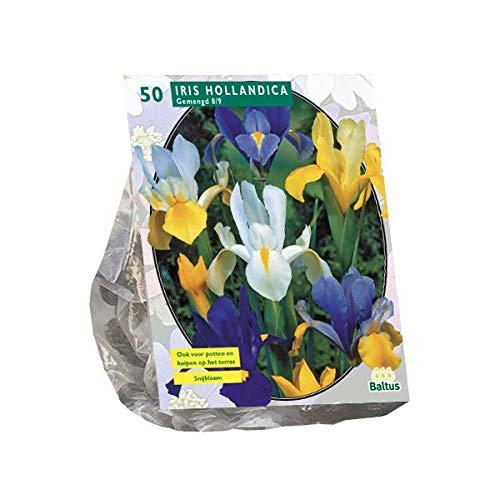 Schwertlilien | Iris Hollandica | 50...