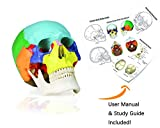 Vision Scientific VAL218 Colored Human Skull | 3parts, Life-Size | Contrasting Colors to Distinguish Various Bony Plates | Sectioned Skull Cap, Joints, Fissures and Processes | W Manual