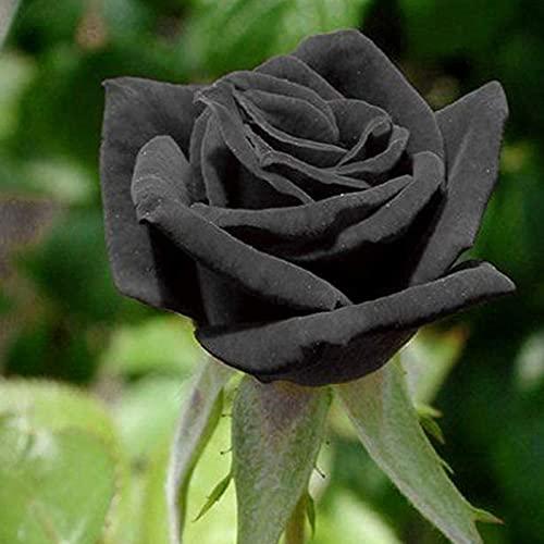 Semillas de flores20pcs/Bolsa semillas de rosa sequía tolerante flores raras flores negras floración plantas semilleros jardín para la oficina - negro
