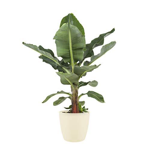 Zimmerpflanze von Botanicly – Bananenpflanze in cremefarbenem Übertopf als Set – Höhe: 70 cm – Musa