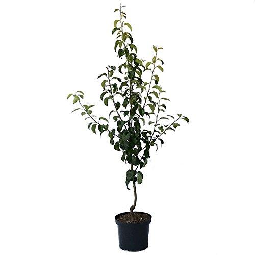 Müllers Grüner Garten Shop Birnenbaum Gellerts Butterbirne saftig süß Herbstbirne Buschbaum 120-150 cm 10 Liter Topf auf Quitte A