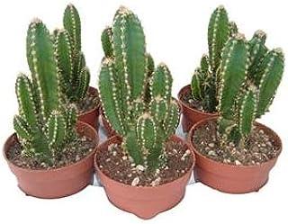 Cactus Cereus Floridiano o Cactus del Ordenador 1 Unidad de 8cm en Maceta Pequeña Cactus Natural