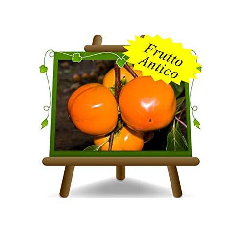 Kaki Mela - Pianta da frutto Antico su vaso da 26 - albero max 200 cm - 4 anni