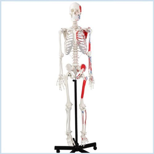 Wellden Medical Life-Size Anatomical Human Skeleton Model, Muscular Painted, Numbered, 170cm, w/Nerves, Stand Included