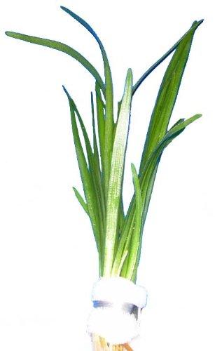 Wasserpflanzen Sagittaria subulata, Pfeilkraut, Aquariumpflanzen