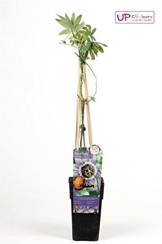 Winterharte Passionsblume, exotische Schönheit, (Passiflora caerulea), ca. 65cm hoch im 15cm Topf, (Blau)
