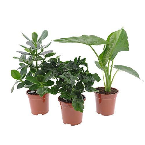 3x Büropflanzen | 3er Set Pflanzen fürs Büro | Balsamapfel, Philodendron, Elefantenohr | Höhe 55-70cm | Topf Ø 17cm