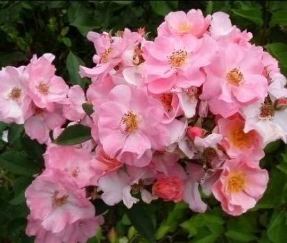 Clair Matin®, rosa rampicante in vaso di Rose Barni®, altezza raggiunta fino a 3 metri, rifiorente e resistente con fiori a mazzetto di colore rosa chiaro con sfumature salmone, Cod. 18009
