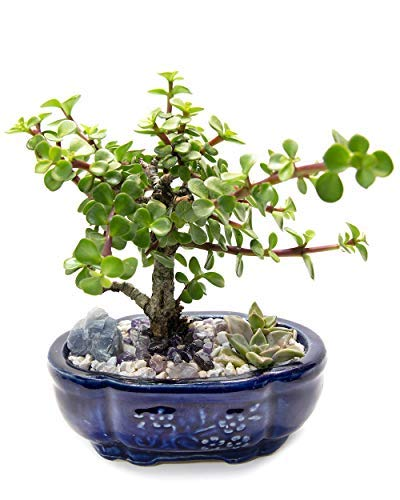 Creations by Nathalie Live Dwarf Jade Plant Mini Bonsai Tree with Ceramic Base Succulents Decorative Rocks & Healing Crystals Florida-Grown Jade Bonsai Tree Indoor Decor (Blue)