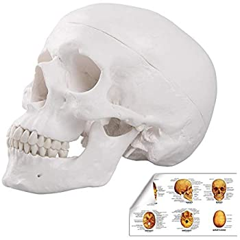 LYOU Human Skull Anatomical Model Life Size Adult Human Anatomy Head Skeleton Model Includes Full Set of Teeth Removable Skull Cap and Articulated Mandible Labelled Diagram Poster
