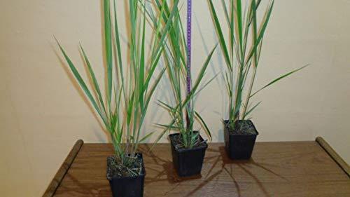 Ruten-Hirse 6 Stück Panicum virgatum Northwind topfgewachsen T9x9 Gräser