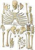 WXHHH Esqueleto Humano desarticulado - Modelo anatómico de Esqueleto desarticulado Completo - Tamaño Natural, para Estudio del Sistema esquelético, Modelo Educativo de enseñanza