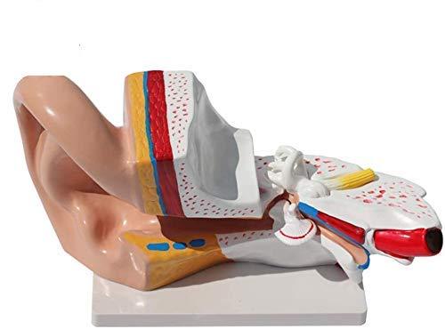 Modelo anatómico del oído del órgano humano, modelo de enseñanza médica modelo de anatomía del oído, modelo de la ciencia médica del oído humano, detalle mostrar exterior, medio, oído interno