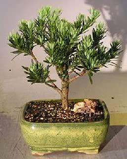 Bonsai Boy's Flowering Podocarpus Bonsai Tree - Dwarf Pringles Upright Style - Large podocarpus macrophyllus