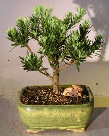 Bonsai Boy's Flowering Podocarpus Bonsai Tree - Dwarf Pringles Upright Style - Large podocarpus macrophyllus