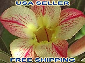 adenium seeds usa