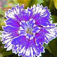 Pinkdose 50 pcs/sac plantes rares Carnation bleu Dianthus caryophyllus bonsaïs fleurs colorées belles plantes d'intérieur 100% véritables plantes: Violet