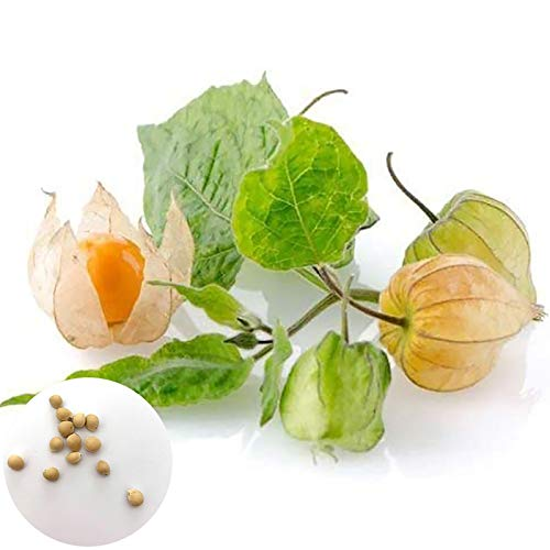 C-LARSS 50Pcs / Bag Physalis Peruviana Seeds, Cultivos Comestibles Prolific Peru Ground Cherry Seeds Para Plantar Semillas de Physalis Pruinosa *