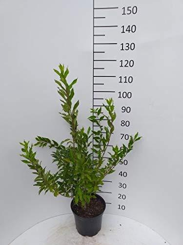 Späth Forsythie 'Spectabilis' LH 40-60 cm im 3 Liter Topf Heckenpflanze winterhart Zierstrauch gelb blühend
