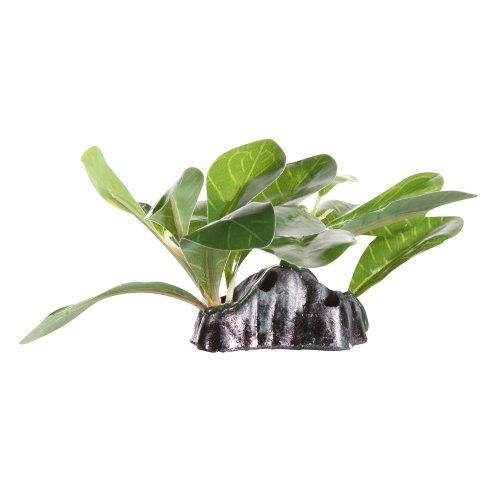 Fluval Dwarfed Anubia 15cm Plant