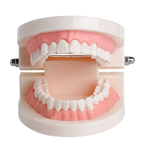 kimberleystore Zähne Zahnfleisch Standard Zahn Dental Zahnarzt Kind Teaching Modell