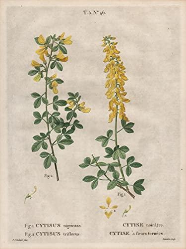 Fig. 1. Cytisus nigricans. Fig. 2....